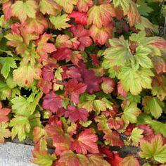 Lamoherukka  Korkeus: 30–50 cm. Lehdistö: Lehdet puhkeavat usein jo huhtikuun lopussa, mutta ne tuleentuvat niin varhain, että pensas hehkuu jo loppukesällä viinin- tai oranssinpunaisena. Kukinta: Alkukesällä avautuvia punertavia kukkaterttuja kehittyy avoimella paikalla runsaasti. Kasvupaikka: Aurinko–varjo, tuore–kostea, keskiravinteinen. Vyöhykkeet: I–VI. Taimiväli: 90 cm. Leikkaus: Vanhasta pensaasta poistetaan vain tarvittaessa ränsistyneitä versoja.
