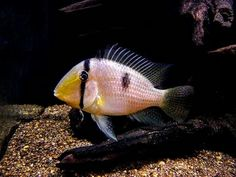South American Cichlids, Tetra Fish, New Tank, Beautiful Fish, Freshwater Fish, Tropical Fish, Central America, Fish Tank, Animal Kingdom