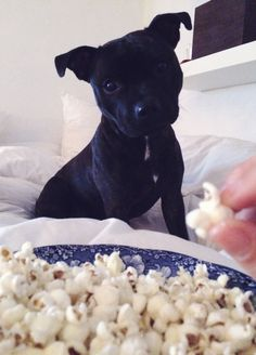 English staffordshire bull terrier craving for popcorn