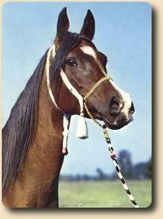 orla, 1962.  filly who won the polish triple crown, defeating colts - an amazing anomaly in any breed. picasso's granddam.