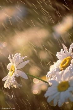 Summer Rain summer rain flowers daisies~~Daisies, such a friendly flower
