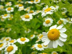 Therapeutic Grade Chamomile Essential Oils from India