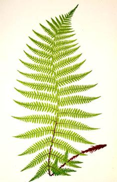 Peter D. A. Boyd's Ferns and Pteridomania in Victorian Scotland