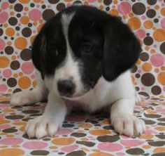 """Bismarck is an adoptable Beagle Dog in Niles, IL. The """"State Capital"""" litter (Montgomery, Phoenix, Augusta, Denver, Columbus, Salem, Trenton, Bismarck, Juneau, Lansing, and Frankfort) came to us from ..."""