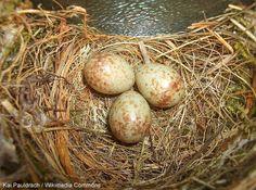 Identifier les nids et les œufs des oiseaux des villes et des jardins | #ornithologie   #oiseau  #nature #oisillon #nid  #nichoir