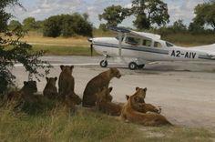 Flying in the Bush African style Geoff's blogs: Botswana
