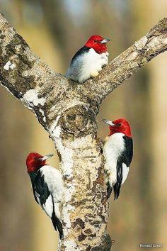 Woody Woopecker family.