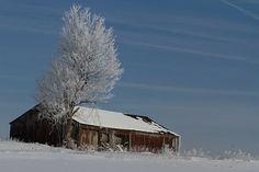 Frost covered tree with an old hay barn.