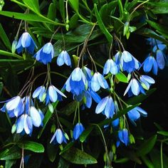 Bluebell Creeper is an Australian native with clusters of startling blue flowers all summer and vibrant edible berries in fall. A twiggy climber, it will climb to 6' if supported, mound as a 3' shrub,