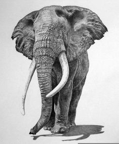Pencil Portrait Mastery - The use of accurate shading and line hatchings produced the correct skin/texture an elephant would normally have. Discover The Secrets Of Drawing Realistic Pencil Portraits Realistic Animal Drawings, Pencil Drawings Of Animals, 3d Drawings, Animal Sketches, Drawing Animals, Hai Tattoos, Regard Animal, Bull Elephant, Elephant Anatomy