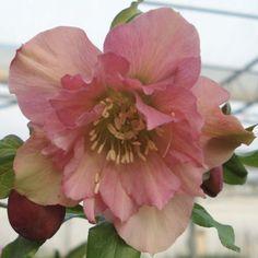 Hellébore orientale Double Rose