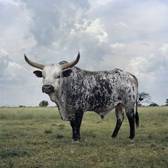 Naude Daniel Black and White Nguni bull Stella North West Province 1 March (JPEG Image, 1080 × 1080 pixels) - Scaled North West Province, Deer Family, South African Artists, Out Of Africa, Science And Nature, Livestock, Artist Art, Cattle, Farm Animals
