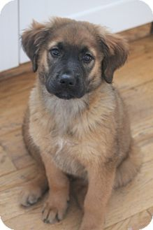 Bedford Hills, NY - Shepherd (Unknown Type) Mix. Meet Arizona, a puppy for adoption. http://www.adoptapet.com/pet/12643261-bedford-hills-new-york-shepherd-unknown-type-mix