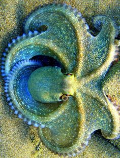 Blue Clover Octopus. Absolutely beautiful.