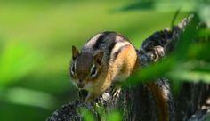Oooooh un petit chimpmunk dans le parc! Quelle surprise! Adossé contre le banc les feuilles ont soudain bougé révélant une petite créature qui s'est rapidement réfugiée sur la rambarde. @tourismequebec @chimpmunk4032 #chimpmunk #quebec #wildlifeencounter