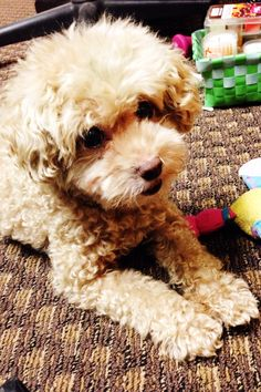 Toy poodle amor