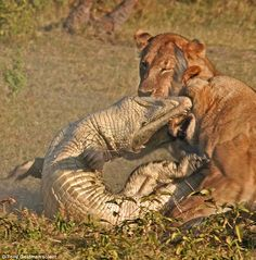 Animal Discoveries: The incredible moment three lionesses killed a crocodile after it tried to attack a cub