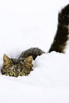 Image detail for -Tags: cute cats , funny cats , kittens photos , snow cats Animal Gato, Mundo Animal, Cute Kittens, Cats And Kittens, Crazy Cat Lady, Crazy Cats, I Love Cats, Cool Cats, Beautiful Cats
