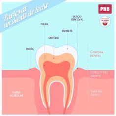 Partes de un diente de leche