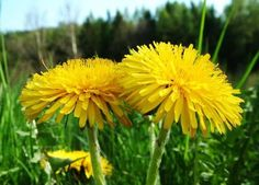 Taraxacum Officinale, Alternative Medicine, Korn, Summer Fun, Dandelion, 1, Herbs, Health, Nature