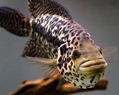 Got one of these guys in the tank? i do-Jaguar Cichlid.