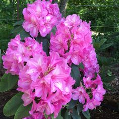 Pink Pearl ~ Rhododendron ~ Rainier Rhododendrons