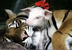 tiger and piglet photo