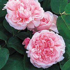 Rosal 'St. Swithun'® Auswith - Rosa 'St. Swithun'® stark duftend, klettert bis 2,5m, halbschatten, blume 8cm