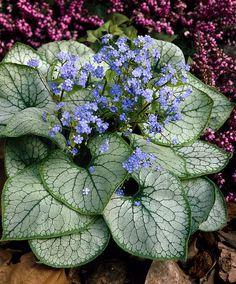 Siberian Bugloss 'Jack Frost'   Plants from Bakker Spalding Garden Company