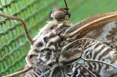 Papillon hibou (Café Doka Estate. Costa Rica)