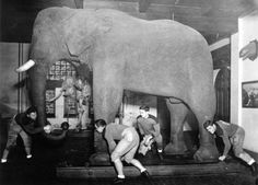 See Jumbo the Elephant's ashes - Tufts University Jumbo The Elephant, Famous Elephants, Rainforest Habitat, Animal Skeletons, Elephants Never Forget, Big Top, History Photos, African Elephant, Friend Photos