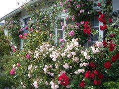 Arvids favoritter - www.oslorose.com Felicia, Dawn, Garden Ideas, Coral, Fairy, Gardening, Windows, Canning, Plants