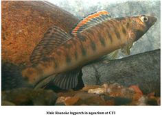 This is not actually an aquarium fish, but an endangered species called the Roanoke Log Perch, which lives in the Roanoke River.