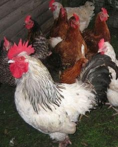 Raising Chicken Tips: Requirements for Building a Coop