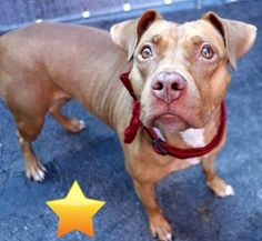 SAFE 1-29-2016 --- RETURN 01/02/16 COST --- SAFE 8-17-2015 --- Manhattan Center CARA – A1047436 FEMALE, BROWN / WHITE, PIT BULL MIX, 2 yrs OWNER SUR – EVALUATE, NO HOLD Reason LLORDPRIVA Intake condition EXAM REQ Intake Date 08/10/2015 http://nycdogs.urgentpodr.org/cara-a1047436/