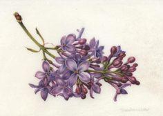 Syringa vulgaris. Lilac. Watercolor on vellum. © 2012 Denise Walser-Kolar