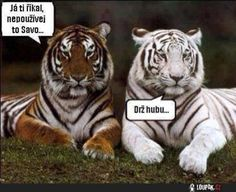 funny animals, funny animal pictures, funny pictures of animals Funny Animal Quotes, Animal Jokes, Cute Funny Animals, Funny Animal Pictures, Funny Cats, Funny Tiger, Tiger Pictures, Animal Captions, Quote Pictures