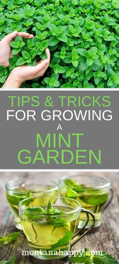 #mintgardenideas #mintgardenbed #howtogrowmint #mintgardening #mintgarden #gardening #abundance #creating #growing #amazing #growing #tricks #leaves #garden #tricksTIPS & TRICKS FOR GROWING A MINT GARDEN Tips and Tricks for Growing a Mint Garden will teach you how to grow this amazing herb.  Creating mint gardening beds will give you an abundance (fresh leaves and dried) all year long.Tips and Tricks for Growing a Mint Garden will teach you how to grow this amazing herb.  Creating mint ga...