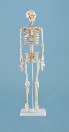 Miniature-SkeletonDaniel with muscle markings