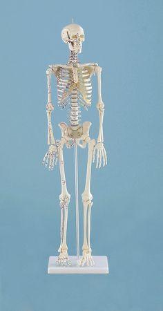 Miniature-SkeletonDaniel with muscle markings