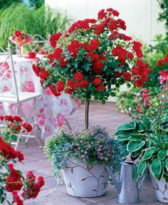 roses in balcony