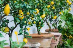 Lemon Tree Care: Fresh lemons in the pot! Indoor Vegetable Gardening, Container Gardening, Indoor Lemon Tree, Gardening For Beginners, Gardening Tips, Lemon Tree From Seed, Lemon Seeds, How To Grow Lemon, Acerola