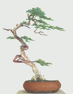 Image from http://www.artofbonsai.org/feature_articles/images/behind_the_rules/002.jpg.