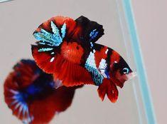 Koi Fish Pond, Fish Ponds, Fish Information, Common Carp, Beta Fish, Underwater Life, Colorful Animals, Art Of Living, Color Of Life