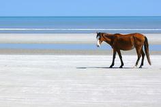 cumberland island, wild horse
