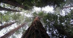 Τα τεράστια Σεκόγια της Καλιφόρνια: Όταν η φύση σε κυριεύει… | Kiss My GRass