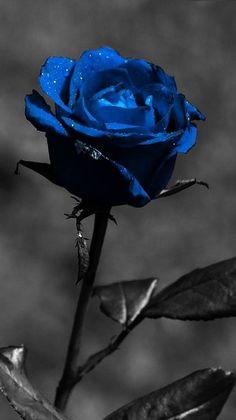 419 Best Blue Roses Images In 2020 Blue Roses Blue Rose