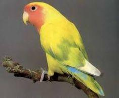 Résultats de recherche d'images pour «mutation des oiseaux les inséparables» Parrot, Images, Birds, Animals, Search, Parrot Bird, Animales, Animaux, Bird
