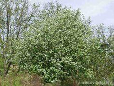 """Amelanchier alnifolia MARJATUOMIPIHLAJA  Hyvin terve, kasvualustan suhteen vaatimaton iso tausta- ja yksittäispensas. Marjatuomipihlaja eli """"intiaanien mustikkapuu"""" on sekä koriste- että marjakasvi. Se kukkii runsaasti joka kevätkesä ja ruskaväri on loistelias. Heinäkuun loppupuolella kypsyvät marjat maistuvat jopa sellaisenaan. Lehdistö: Puhjetessaan rusottava, syksyllä vahvan punainen–keltainen. Kukinta: Valkoiset, pihlajalle tuoksuvat kukkatertut toukokuun lopussa. Marjat: Tummansiniset…"""