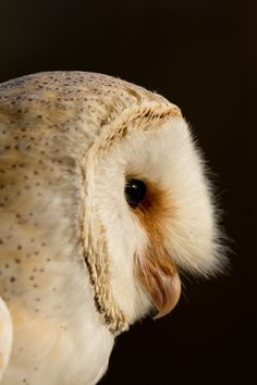 pin by carolyn koons on barn owls pinterest owl pine and barred owl